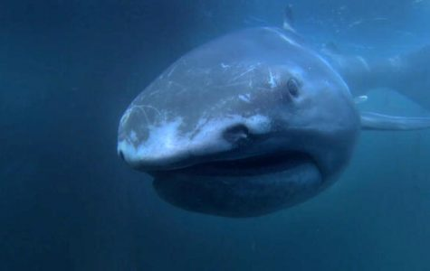 Rare Megamouth shark found off the shore of Japan.