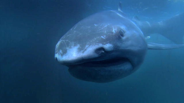rare megamouth shark found off the shore of japan the pawprint