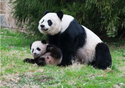 Pandas need our help